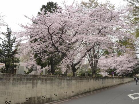 観音禅院の桜.jpg