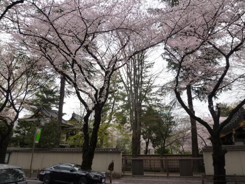 観音禅院の桜2.jpg