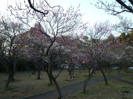 谷保天満宮の梅2011_03.jpg
