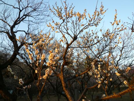 谷保天満宮の梅2011_01.jpg