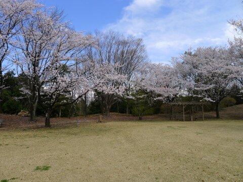 赤城見台公園の桜2.jpg