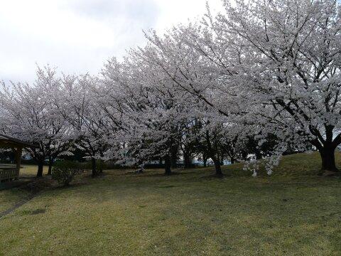 赤城見台公園の桜3.jpg