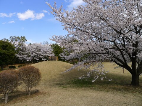 赤城見台公園の桜4.jpg