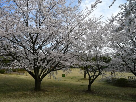 赤城見台公園の桜5.jpg
