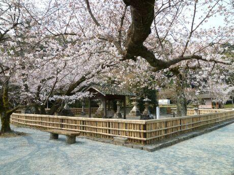 轟御殿跡の桜3.jpg