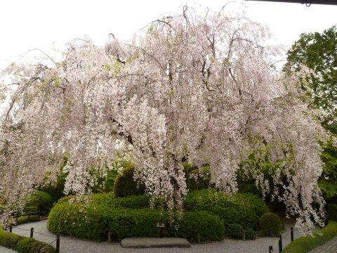 退蔵院 桜.jpg