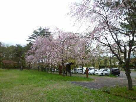遠刈田公園の桜2.jpg