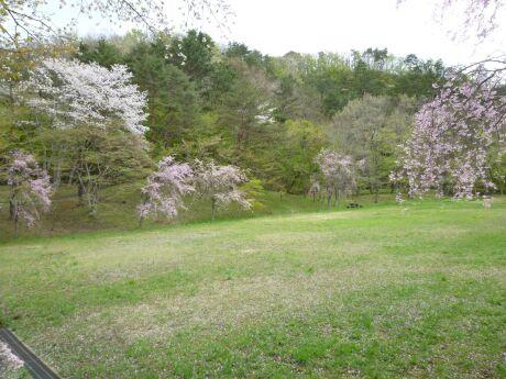 遠刈田公園の桜1.jpg