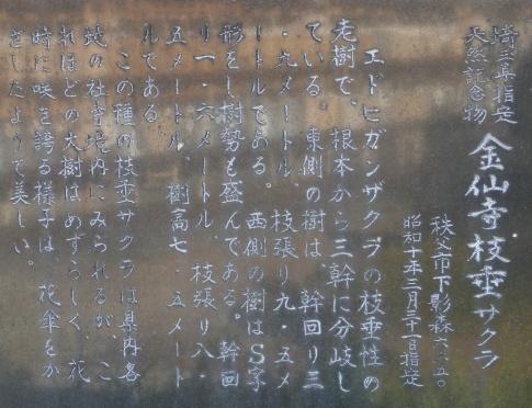金仙寺の枝垂れ桜3.jpg