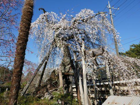 金仙寺の枝垂れ桜1.jpg