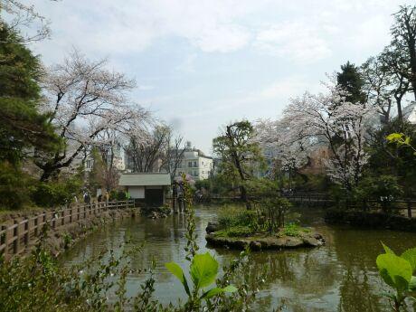 鍋島松濤公園の桜3.jpg