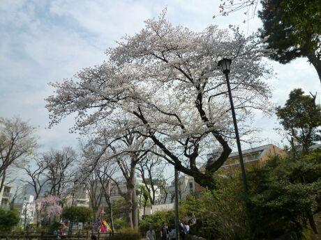 鍋島松濤公園の桜4.jpg