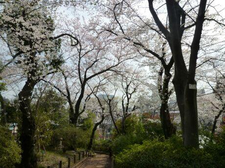 鍋島松濤公園の桜1.jpg