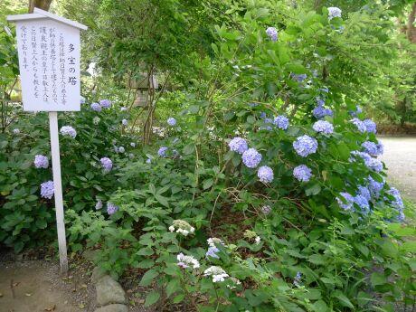 鎌倉宮 あじさい3.jpg