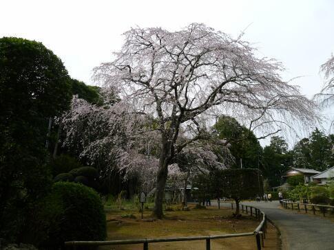 長光寺 枝垂れ桜.jpg