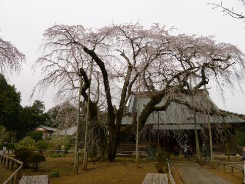 長光寺 枝垂れ桜2.jpg