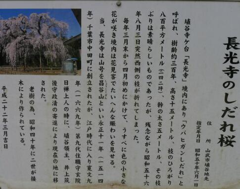 長光寺 枝垂れ桜3.jpg