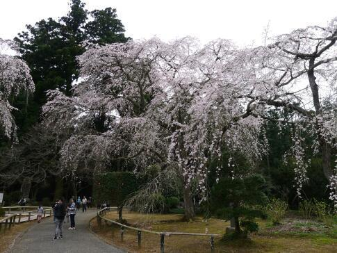 長光寺 枝垂れ桜5.jpg
