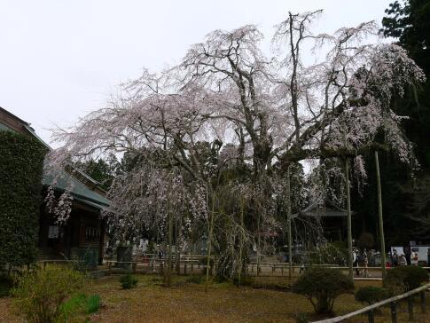 長光寺 枝垂れ桜6.jpg