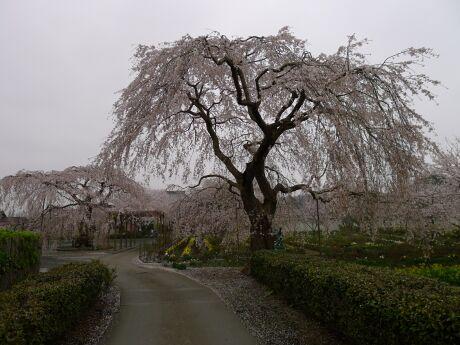 長福寺の枝垂れ桜 樹齢200年.jpg