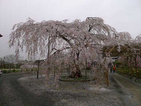 長福寺の枝垂れ桜 樹齢70年.jpg