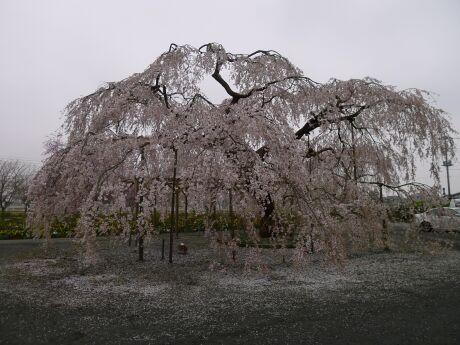 長福寺の枝垂れ桜 樹齢70年2.jpg