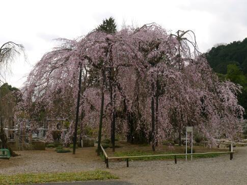 霊巌寺の枝垂れ桜.jpg