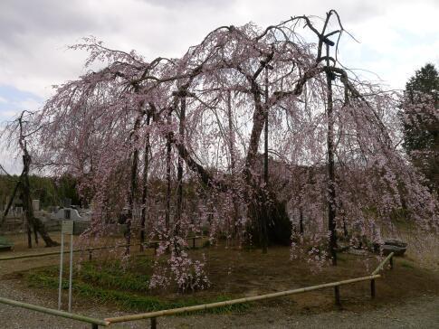 霊巌寺の枝垂れ桜2.jpg