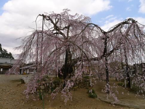 霊巌寺の枝垂れ桜3.jpg