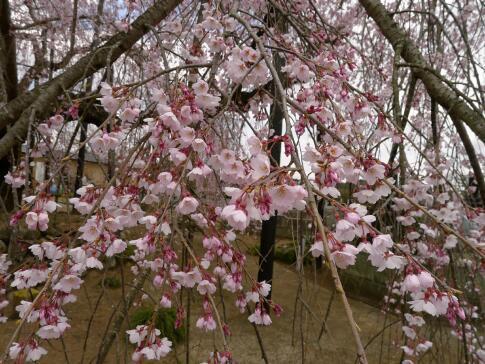 霊巌寺の枝垂れ桜4.jpg
