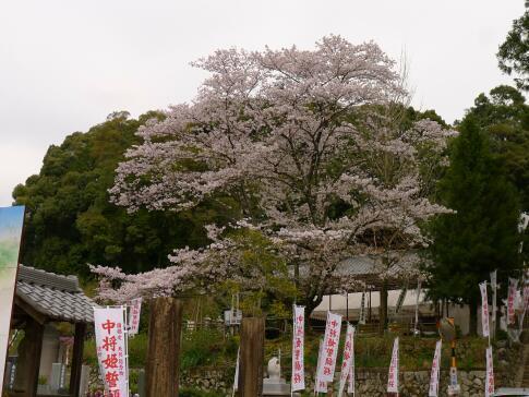 願成寺の桜.jpg