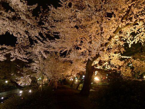 高崎城址公園の夜桜10.jpg