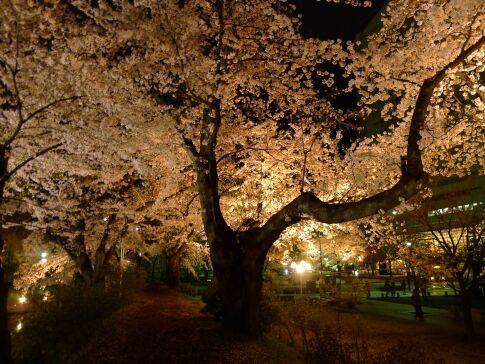 高崎城址公園の夜桜11.jpg