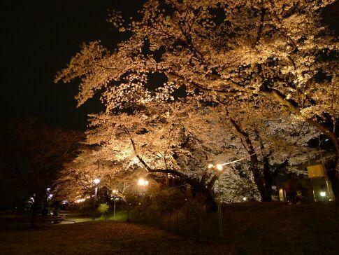 高崎城址公園の夜桜12.jpg