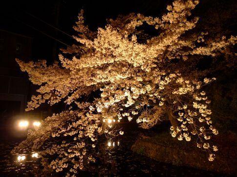 高崎城址公園の夜桜2.jpg