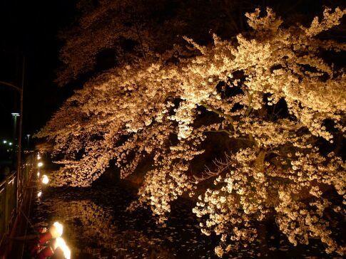 高崎城址公園の夜桜3.jpg