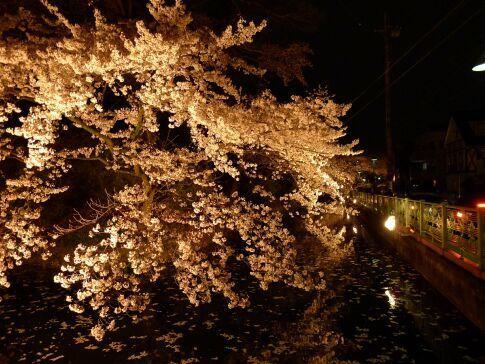 高崎城址公園の夜桜4.jpg