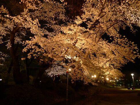 高崎城址公園の夜桜8.jpg