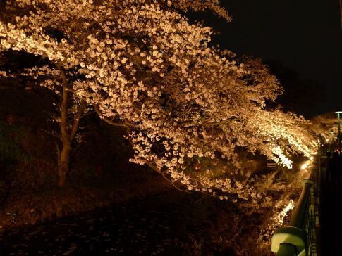 高崎城址公園の夜桜1.jpg