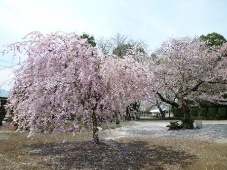 高徳寺の桜3.jpg