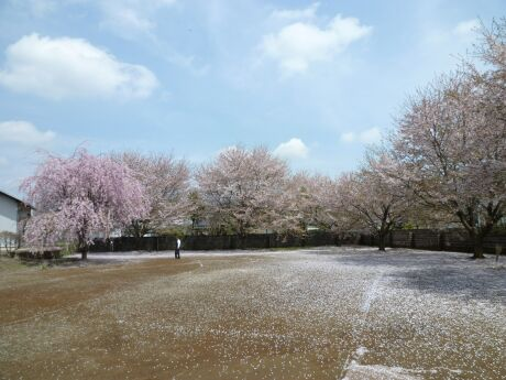 高徳寺の桜4.jpg