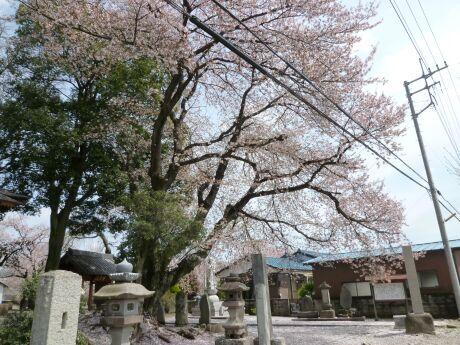 高徳寺の桜1.jpg