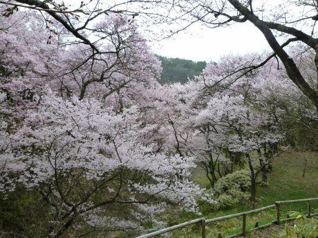 高遠城の桜1.jpg