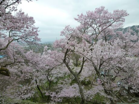 高遠城の桜2.jpg