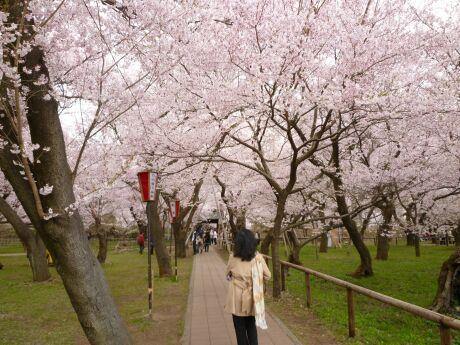 高遠城の桜3.jpg