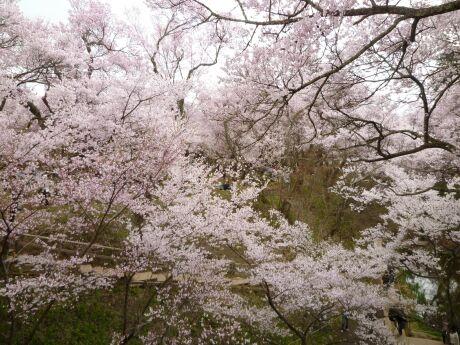 高遠城の桜4.jpg