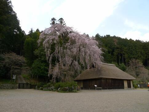 高麗家住宅前の枝垂れ桜.jpg