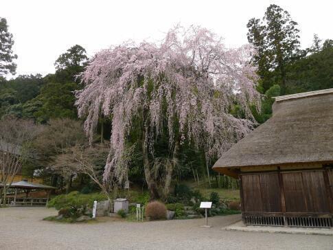 高麗家住宅前の枝垂れ桜2.jpg