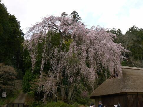 高麗家住宅前の枝垂れ桜3.jpg