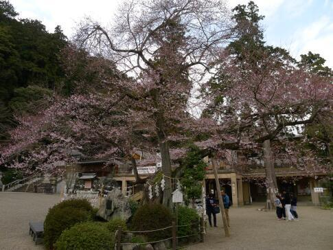 高麗神社ヒガンザクラ.jpg